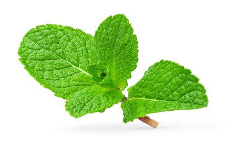 Fresh mint leaves isolated on white background. Design element.
