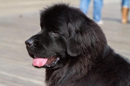 VERY LARGE BLACK DOG