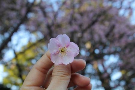 flor de sakura: Sakura flor en la mano.