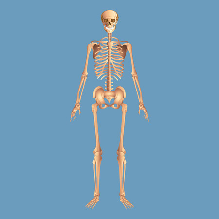 Skeleton anatomy human isolated on a blue background