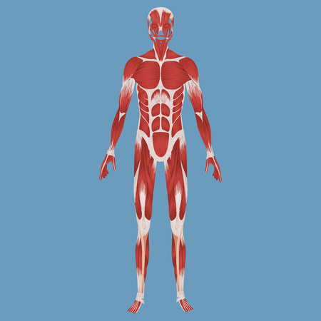 Human muscular system illustration