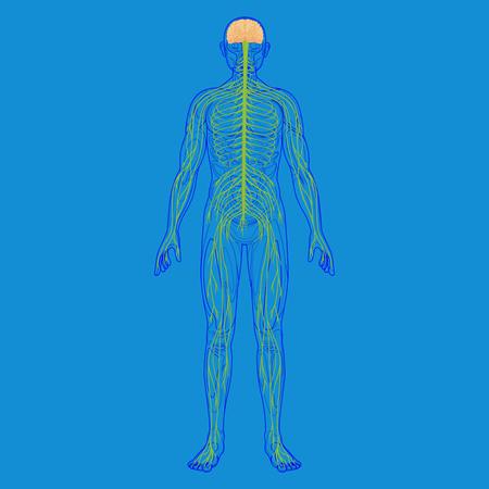 Silueta del cuerpo humano y sistema nervioso