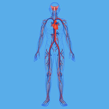 Human body and circulatory system diagram foto royalty free banco de imagens human body and circulatory system diagram ccuart Gallery