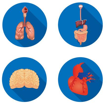 small intestine: Round icons of internal human organs Flat design