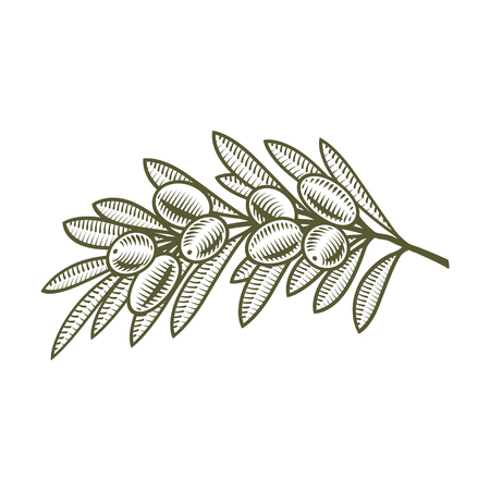 Olive Branch Hand Draw Sketch Retro Isolated Vector