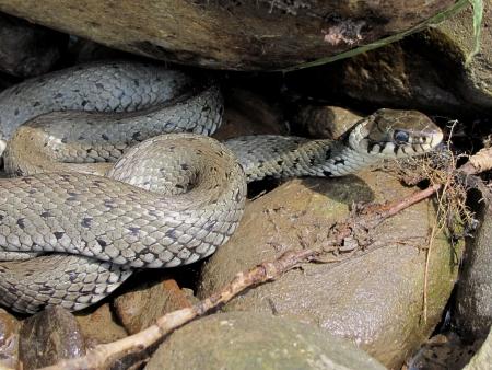grass snake: Grass snake under the stone