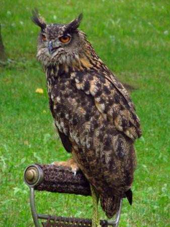 a large bird of prey: Seduto gufo