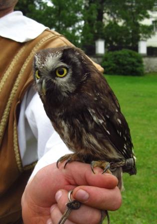 boreal: tammed Boreal Owl Stock Photo