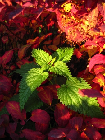 nettle among red leaves Stock Photo - 16891204