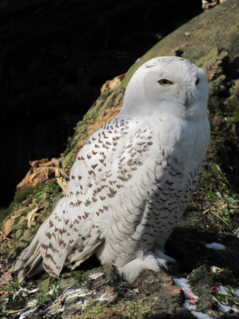 White owl photo