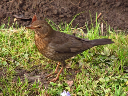 blackbird female Stock Photo - 17038188
