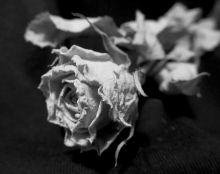 sear: sear rose