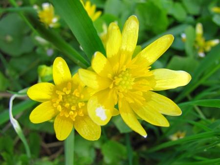 Blossoms of lesser celandine Reklamní fotografie