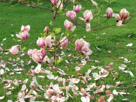 fading: fading magnolia