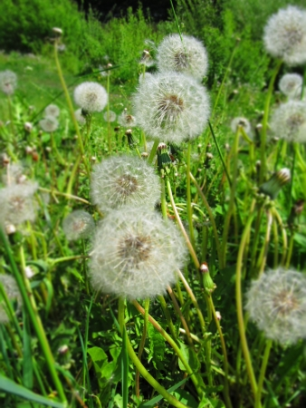 a bunch of fluffy dandelions Stock Photo - 20847533