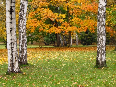 Yellow maple tree and white trunks of birches in autumn photo