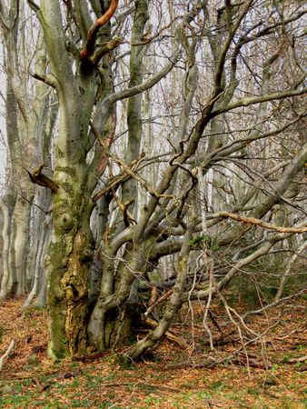 crooked: old trees with crooked branches