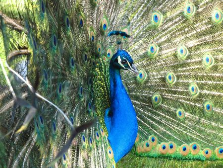 half-portrait of male peacock photo
