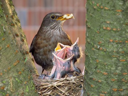 female blackbird feeding its little bidies photo
