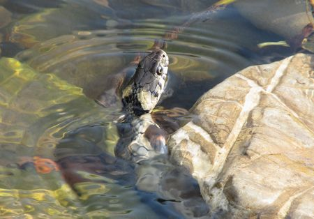 grass snake: grass snake swimming in the water Stock Photo