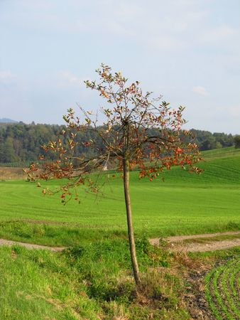 loner: a solitary tree in the fields