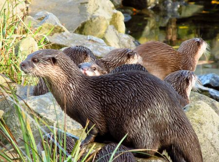 natue: a group of otters on the bank