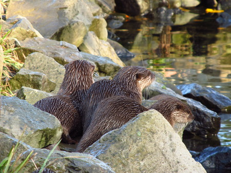 natue: three otters watching and waiting for someting Stock Photo