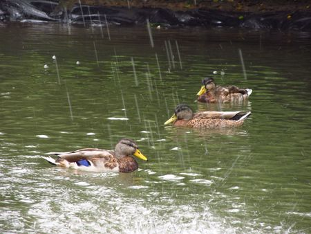 three ducks swimming in the pool under the falling drops fom the fountain photo