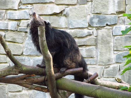 bearcat: bearcat scratching itself with help of some branches Stock Photo