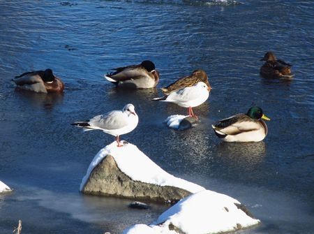 seagull and ducks relaxing on the river in winter photo