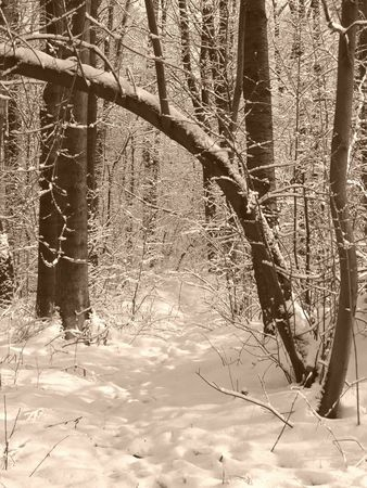 bended: photo of a bended tree above the path in the winter wood in ocre tones