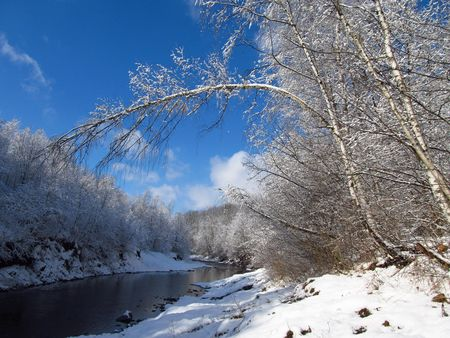 bended: bended tree in the winter forest on the river bank