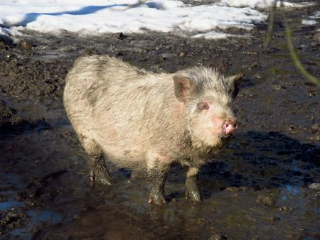 mud and snow: young pig standing in the mud from melting snow Stock Photo