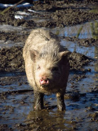 mud and snow: pig standing in the mud and puddles of water