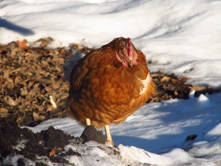 hardened: hardened brown hen standing outdoors in the snow and basking in the sun Stock Photo