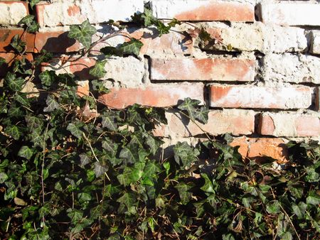 ivy wall: ivy growing on the old brick wall Stock Photo
