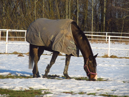 blanket horse: brown horse with a blanket on its back in winter