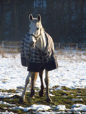 blanket horse: white horse covered with blanket in winter
