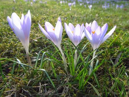 several: several light violet crocuses in the grass
