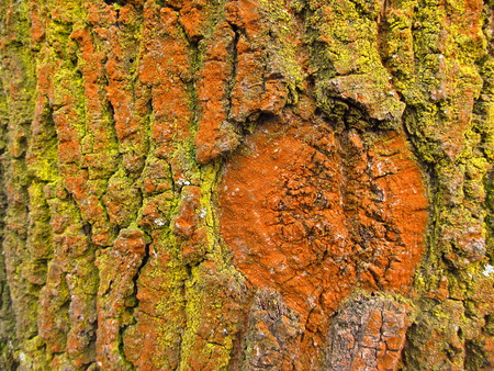 close photo of bark of a tree covered with yellow anf orange algae or lichens