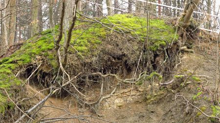 crooked: crooked roots of the trees on the steep slope
