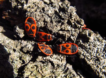 firebug: several firebugs on the bark