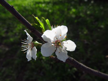 white blooms of a cherry tree in contrast with dark background photo