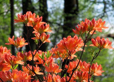 blooms: Orange blooms of exotic tree Stock Photo