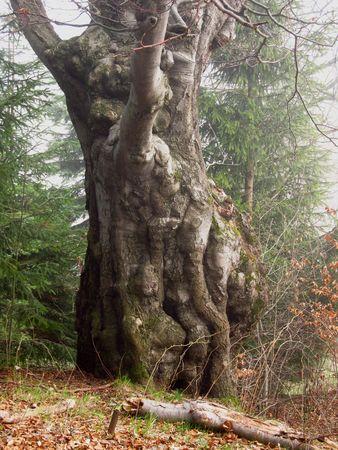 ghostlike: bizzare fat trunk of an oak tree Stock Photo