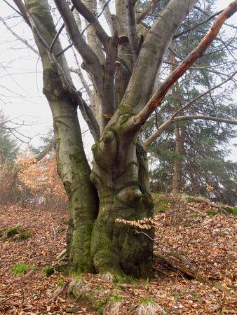 ghostlike: Bizzare old oak tree in autumn