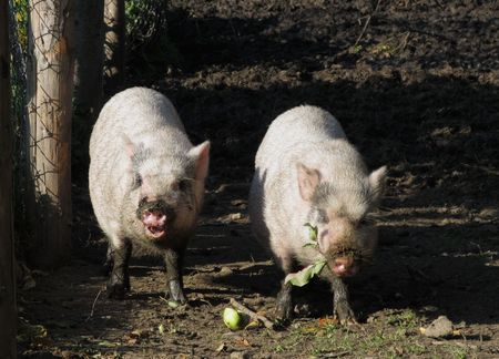 two cute white pigs eating some apples and leaves photo