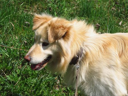 fair hair: portrait of a dog with fair hair