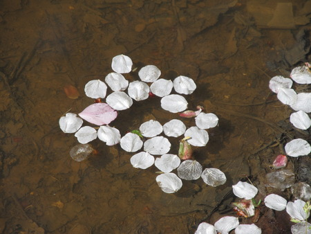 transient: fallen petals of cherry trees in the puddle