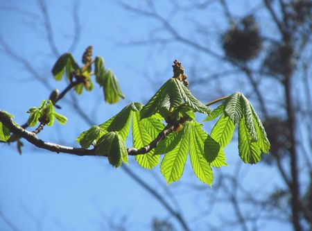 chestnut tree: twig of chestnut tree with fresh green leaves and other trees at the background